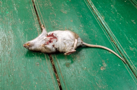 dead rat with bloody wound and yellow tooth lie on rural wooden floor.  photo