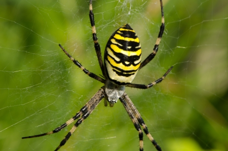 closeup of wasp spider argiope bruennichi beautiful sit on spyderweb  striped yellow and black color   photo