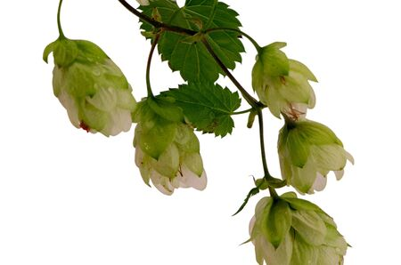 ecological natural hop plant branch isolated on white background material for beer production  photo