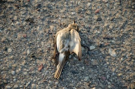 dead flycatcher victim bird killed by car lie on asphalt road