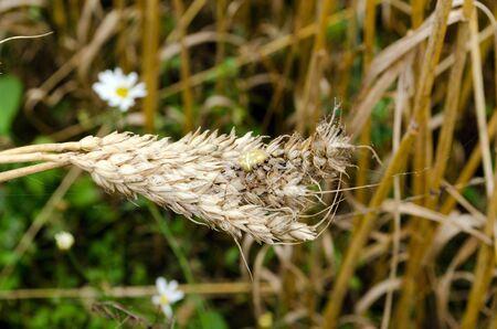 four-spot orb-weaver araneus quadratus spider on wheat ears in agriculture field   Stock Photo