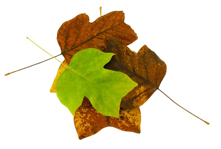 sear and yellow leaf: autumn tulip tree leaf composition with bright green leaves on top isolated on white background