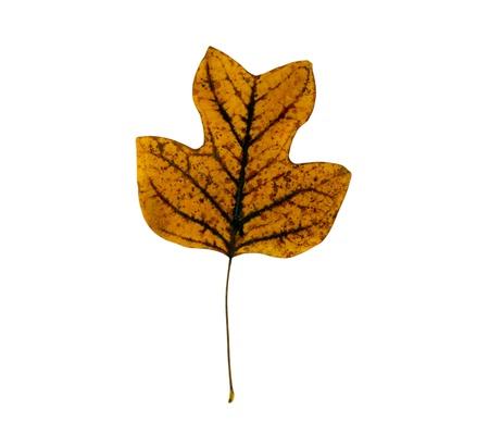 sear: sear tulip tree leaf isolated on white background