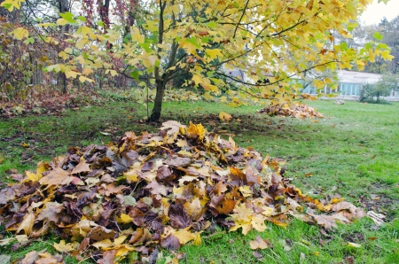 tree works: pile of rake colorful autumn leaves and decorative tree grow in garden  seasonal garden works