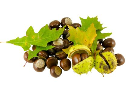 autumn chestnut composition with decorative green oak leaves isolatedon white background  photo