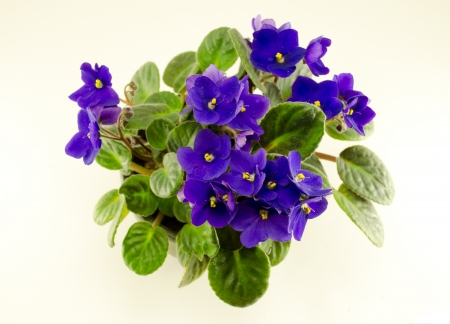 african violet flower and brightly green leaves in pot  photo