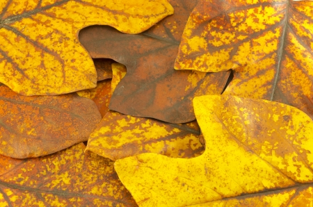 sear and yellow leaf: autumn sear yellow tuliptree leaves composition background  Stock Photo
