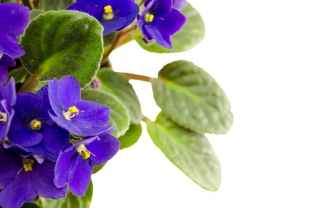 african violet flower and brightly green leaves isolated on white background  lot  Saintpaulia