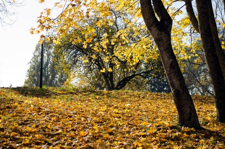 park covered with golden orange autumn maple tree leaves.
