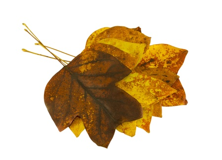 sear and yellow leaf: sear brightly decorative autumn tulip tree leaves lay in a pile on top of each other on white background