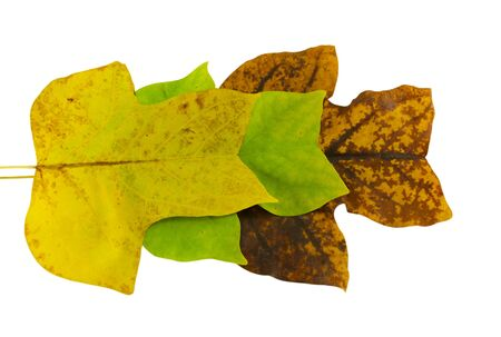 yellow, green, brown tulip tree leaves in autumn composition isolated on white background  photo