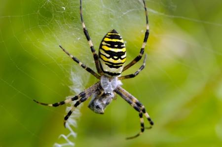 wasp spider argiope bruennichi beautiful sit on spyderweb catch prey  striped yellow and black color   photo