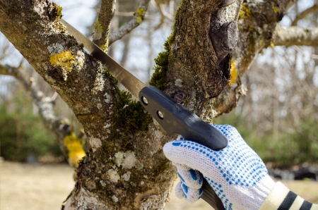 hand with gloves cut prune lop trim fruit tree branch twig with hand saw in spring