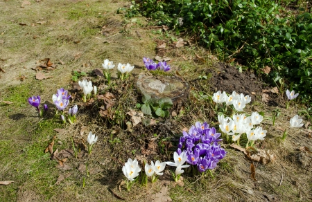 colorful saffron crocus flowers grow near cut tree stump in spring  first seasonal flower blooms