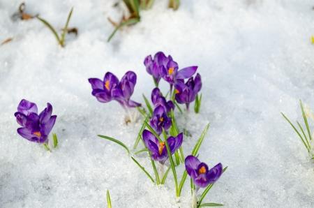 mazzo blu zafferano primo fiore di primavera fioritura primo piano tra ultima neve