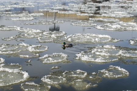 water fowl: lonely duck in the river between the big frozen piece of ice