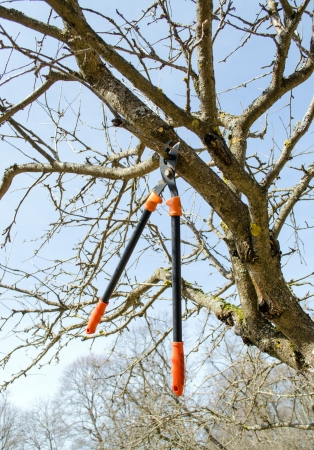 fruit tree cut trim prune with two handle clippers scissors in spring garden on background of blue sky   photo