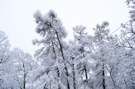 larch tree branches covered with thick snow rime hoarfrost layer and electricity lighting pole and wires in winter.