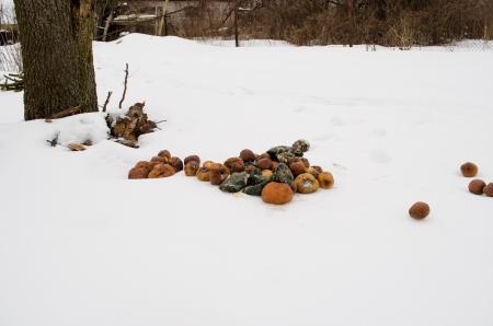 putrid: rotten putrid decayed apples and pumpkins in garden on winter snow.
