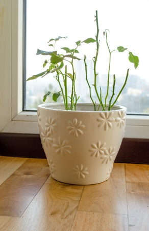 ornamented: shabby shed their leaves plant beautiful white ornamented with flowers pot  Stock Photo