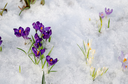 group of small violet crocuses on frozen snow in garden