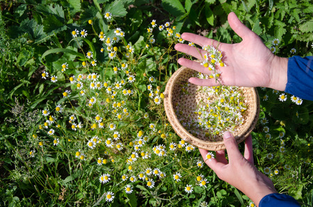 Female hand pick camomile herbal flower blooms to wooden wicker dish in garden. Alternative medicine.