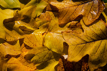 nice yellow wet nerved tuliptree leaves background