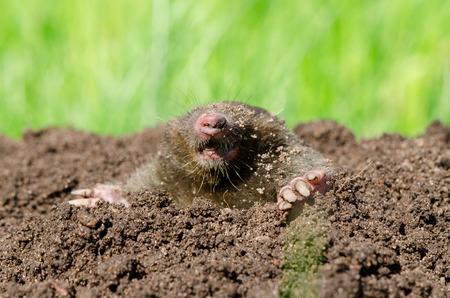 molehill: Mole head in molehill hole soil. Enemy for beautiful lawn.  Stock Photo