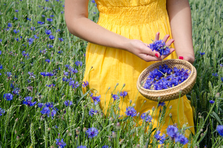 herbalist: farm woman in yellow dress hands with red nails pick blue cornflower flowers herb to wicker dish in agriculture field.
