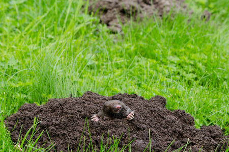 Mole put out his head from molehill hole. Enemy for beautiful lawn.  Stock Photo