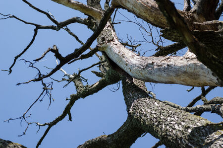 diseased: dry old diseased tree branches on blue sky background  Stock Photo