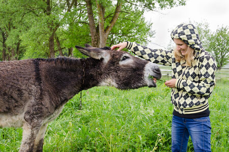 Farmer woman feed cute wet donkey animal tied with chain in green meadow grass pasture in rainy day.  photo