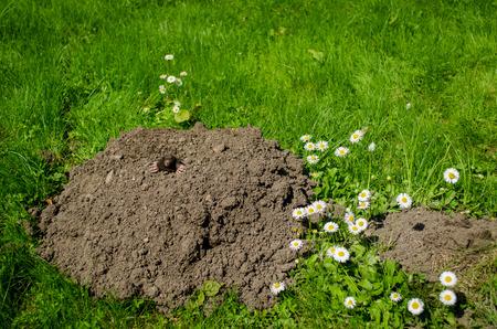 molehill: spring mole and molehill in the garden white flower   Stock Photo
