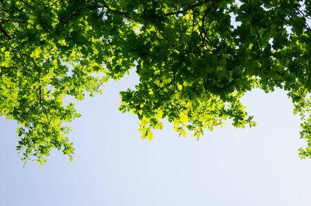 bouleau feuilles vertes qui brille dans le soleil sur fond de ciel bleu