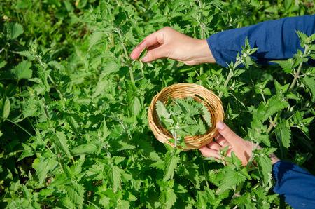 herboristeria: Mujer herbolario mano muchacha b�lsamo de menta selecci�n de plantas a base de hierbas, hojas, jard�n. La medicina alternativa.