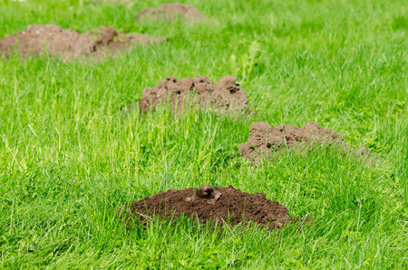 animal mole: Mole hills on lawn grass and animal head in soil. Enemy for beautiful lawn.  Stock Photo