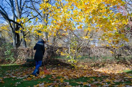 tree works: Gardener girl rake golden colorful leaves under small autumn tree in garden. Seasonal autumn outdoor works.