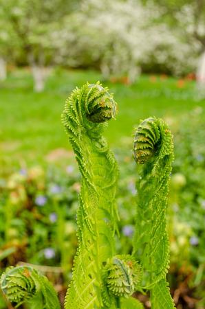 burgeon: young green burgeon ferns in the spring yard