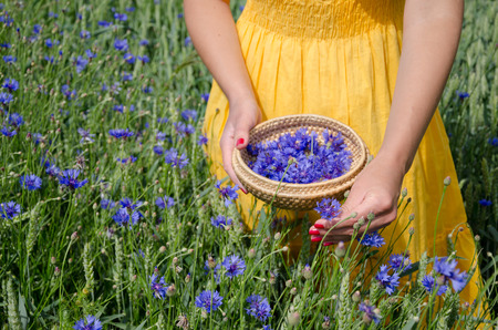 farm woman girl in yellow dress hands with red nails pick blue cornflower flowers herb to wicker dish in agriculture field.  Stock Photo