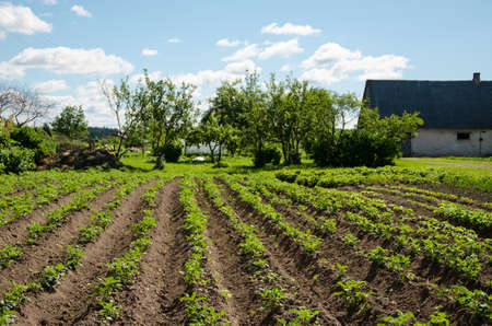furrow: freshly plowed furrows of young green potatoes in garden   Stock Photo
