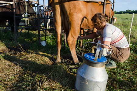 LIVONYS, LITHUANIA - CIRCA JUNE 2013 - milkmaid farmer woman put milking machine pumps on cow udders circa June 2013 in Livonys. Natural ecologic milk process in farm.  photo