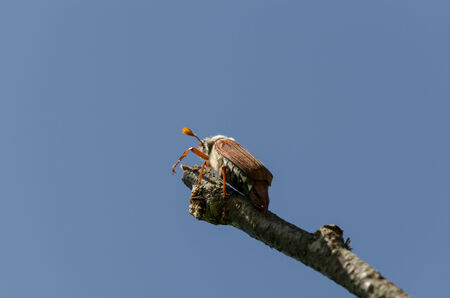 chafer bug crawl on dry tree branch on blue sky background  photo