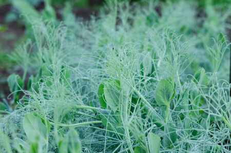 close up of pea shoots stud small dew drops  photo