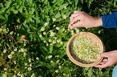 Herbalist hand pick camomile herbal flower blooms to wooden wicker dish in garden. Alternative medicine.