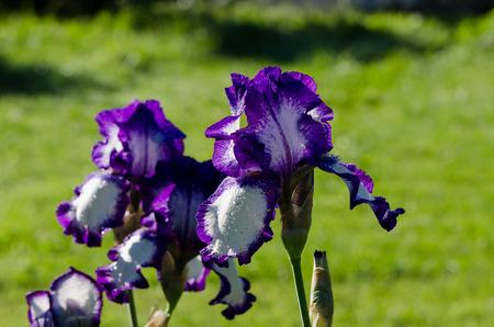 Closeup of dewy multicolor iris flower.