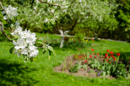 apple tree branch with small white flowers and leaves on garden tulip background  Stock Photo