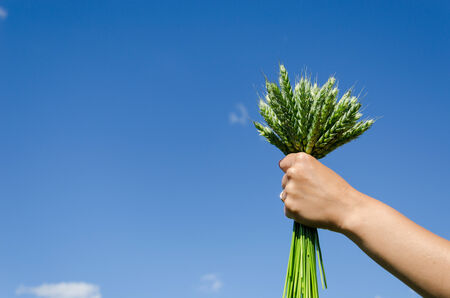 bouquet of green rye in hands of woman on blue sky background