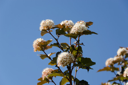 White blooming viburnum snowball bush blooms on background of blue sky.  Stock Photo