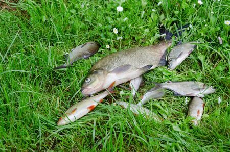 large glossy bream with small fish in the meadow  Stock Photo