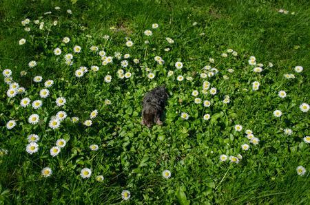 dead black small mole in meadow between daisy flowers